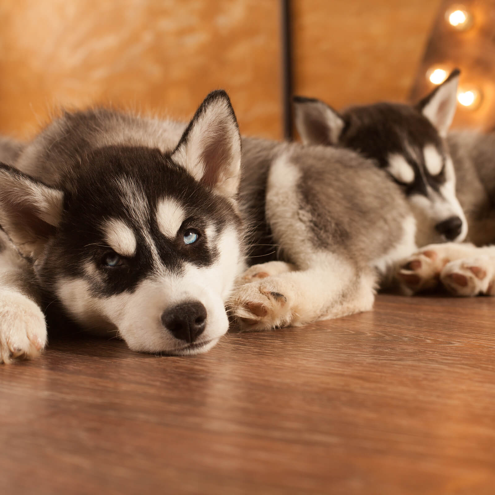 Huskies on hardwood flooring | Bram Flooring